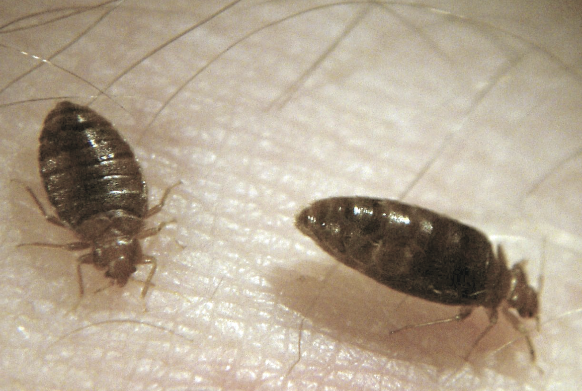 Bed Bugs Saint Mary S County Health Department